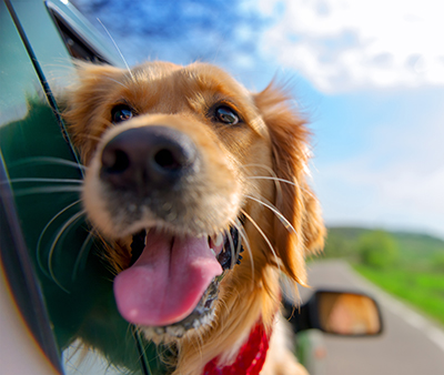 Golden Retriever in car